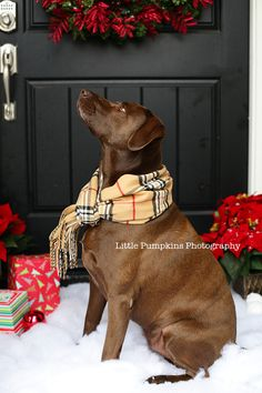 Chocolate Labrador Christmas Portrait, would LOVE a picture of Bruschi like this!