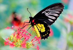 Female Golden Bird-wing butterfly [Troides rhadamantus]          - Flickr - Photo Sharing!