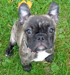 boston terrier french bulldog mix puppies for sale French Bulldog Mix, French Bulldog For Sale, French Bulldogs, Animals And Pets, Baby Animals, Cute Animals, Bulldog Puppies, Dogs And Puppies, Doggies