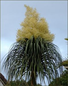 Ponytail Palm Flowering – Learn About Flowering On A Ponytail Palm Tree