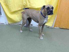 San Bernardino Ca Boxer Meet Urgent Now Devore A Pet For Adoption Pets Animals Animal Shelter