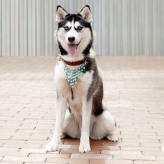 gallery   K9 collar couture   Online Shop Couture, Gallery, Dogs, Animals, Shopping, Collection, Animales, Roof Rack, Animaux
