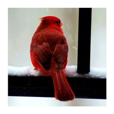 Photography - Cardinal Photo- 5x5 inch Fine Art Photography Print of... (405 UAH) ❤ liked on Polyvore featuring home, home decor, wall art, animals, winter, backgrounds, bird, pictures, framed photography wall art and photo-print