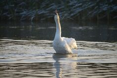 Swan in cold water by Khedron #animals #animal #pet #pets #animales #animallovers #photooftheday #amazing #picoftheday