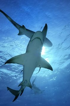 I really like tiger sharks - wouldn't like to meet one but they are nice to look at from afar.