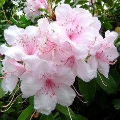 Rhododendron-West Virginia
