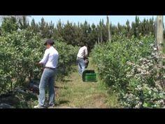SIEMBRA Y COSECHA TV: Campaña de arándanos 2012 - YouTube