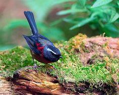 栗背林鴝.攝於台灣 台中縣 大雪山  Johusten's Bush Robin, taken at DaSyueShan, Taichung County, TAIWAN