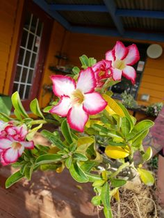 Beautiful, Healthy Hand Raised Desert Rose, and Succulents#beautiful #desert #hand #healthy #raised #rose #succulents Rose Plant Care, Desert Rose, Rose, Planting Succulents, Buy Plants, Plant Signs, Succulents For Sale, Succulents, Desert Rose Plant