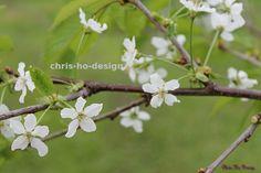 Kirseb�rblomst - foto A4 str. A4, Dandelion, Flowers, Plants, Dandelions, Plant, Taraxacum Officinale, Royal Icing Flowers, Flower