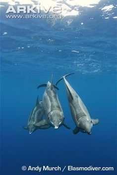 Three rough-toothed dolphins
