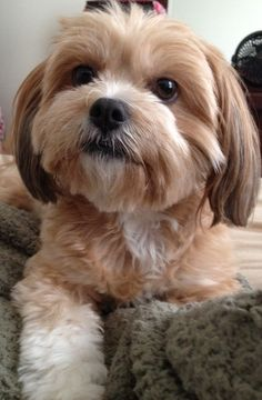 My boo boo Chica. She is a Shih Tzu / Chihuahua mix. Teddy Bear Puppies, Cute Puppies, Cute Dogs, Dogs And Puppies, Dog Grooming Styles, Dog Grooming Tips, Shih Tzu, Havanese Grooming, Yorkie Haircuts