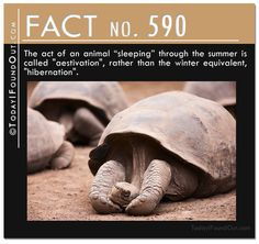 SOooo! ...There IS a name for Sleeping ALL Thru Summer = Aestivation! - TIFO Quick Fact 590