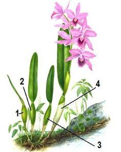 Uma forma de multiplicar a sua orquídea é através da divisão da planta adulta.   Nesta postagem vou explicar os cuidados que devemos ter ne...
