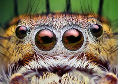 Eyes of an Adult Female Phidippus putnami Jumping Spider by Thomas Shahan, via Flickr