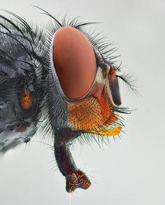 Macro de la cabeza de una mosca