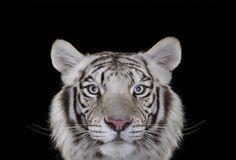 FOTOSERIE: Schitterende portretten van exotische dieren