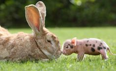 Rob the giant rabbit with a mini pig at Pennywell Farm in Britain. (The teacup pigs bred at the farm only grow to about one fifth the size of a regular pig.) - photo by Richard Austin / REX USA Tiny Pigs, Pet Pigs, Cute Baby Animals, Animals And Pets, Funny Animals, Farm Animals, Giant Rabbit, Giant Bunny, Big Bunny