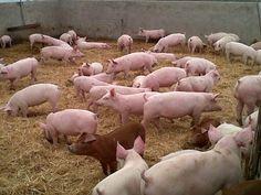La zona con mayor productividad porcina es la de Winifreda, Trenel e Intendente Alvear