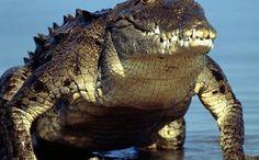 Nile Crocodile Attacks On Humans | planetpedia
