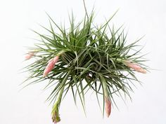 Wholesale by AirPlantGreenhouse Air Plants Care, Dry Plants, Live Plants, Plant Care, Hanging Air Plants, Indoor Plants, Terrarium Plants, Plant Pots, Mother Plant