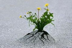 Flowers growing through pavement where there wasn't even a crack in it!!!