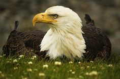 Did you know that the American bald eagle has a mixture of black, brown, and white feathers until it is close to five years old.  It takes up to five years to look like this.  Females stand 35 to 37 inches tall, slightly bigger than males.  They are no longer on the endangered species list.  Today, there are an estimated 9,800 pairs of bald eagles.  Count yourself lucky if you have seen these majestic birds.   http://www.pinterest.com/nanatang;