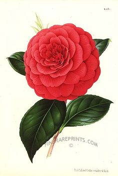Genuine antique print of Camellia from Botanical art from Illustration Horticole