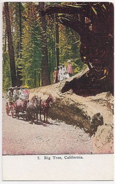 Big Tree California , Yosemite Valley, early 1900s