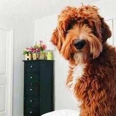 24 Best Bernedoodles images in 2019 | Dog cat, Pets, Bernese