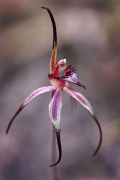 Caladenia caudata - Flickr - Photo Sharing!