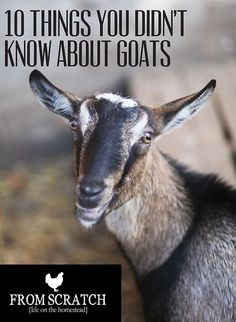 Goat Facts - 10 Things You Didn't Know About Goats - From Scratch Magazine