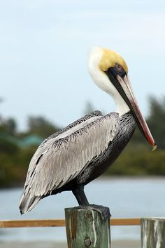 Side View Of A Brown Pelican