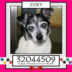 ~~eu date 09/23/16~~ Zoey * URGENT!! Can be euthanized at any time! Breed:Terrier (mix breed) Age…