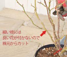 つるバラの育て方 デルバール、河本バラ園、ドリュのバラ苗を確かな品質で販売 | はなはなショップ