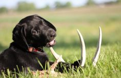 Training My Dog To Shed Hunt - Tips and Strategies for Training A Dog To Find Shed Antlers
