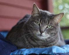 Pam Pam is an adoptable Domestic Short Hair Mix looking for a new forever home in Brimfield, MA! Check out her page for adoption information!