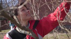 Pihasyreenin leikkaus on hyvä tehdä harventaen keväällä. Viherpihan asiantuntija Lotta Lindholm näyttää, millaisia eri välineitä voit tarvita harvennuksessa.