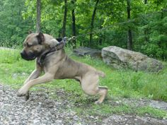 Bandog from Thunderdome Kennels Giant Dogs, Big Dogs, Cute Dogs, Dogs And Puppies, American Bandogge Mastiff, American Mastiff, Rare Animals, Animals And Pets, Big Dog Breeds