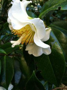 Camellias in Southern California.