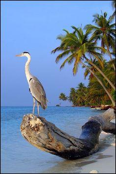 Grey Heron…