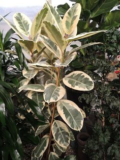 PlantFiles Pictures: Rubber Tree Variegata (Ficus elastica) by palmbob