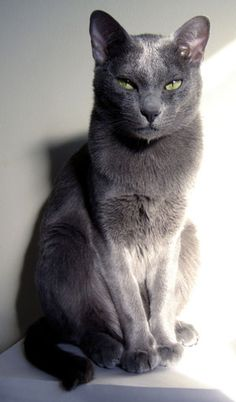 Russian Blue Cats Facts Race korat cat breed * * I've lost my mind ands I iz pretty sure deh kittens took it. Grey Cats, Blue Cats, Grey Kitten, Gato Korat, Grey Cat Breeds, Cute Cat Breeds, Breeds Of Cats, Best Cat Breeds, Gatos Cat