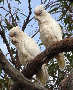 Western Corella (Cacatua pastinator) near Frankland, Western Australia | Laura West