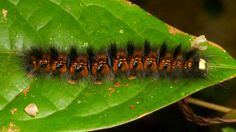 https://flic.kr/p/ppzTBQ   Caterpillar   Join me in the discovery of Ecuadors Megabiodiversity