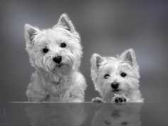 The only thing cuter than a westie is two westies.....<3