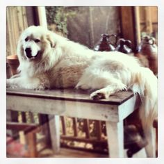 Milo the Great Pyrenees and our look out
