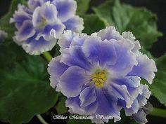 "African Violet Goluboi Tuman | eBay English Translation: ""Blue Mist"" Goluboi Tuman (9558) K. Morev:  Double light blue large ruffled star/white edge.  Dark green, round, wavy.  Standard."