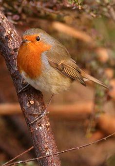 Another Robin. Love Birds, Beautiful Birds, Birds Pics, Animals And Pets, Cute Animals, Pretty Animals, European Robin, England Winter, Rockin Robin