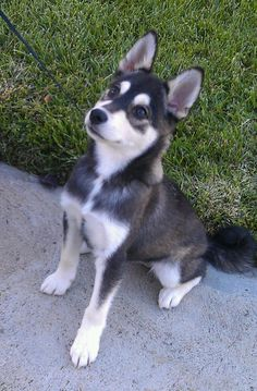 Alaskan Klee Kai puppy! Basically a miniature husky! Soo cute!